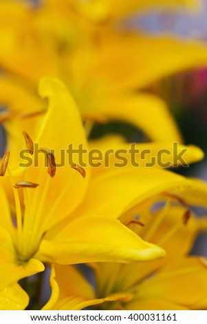 Beautiful blooming yellow lilies summer day. Close-up. Natural background. Selective focus - stock photo