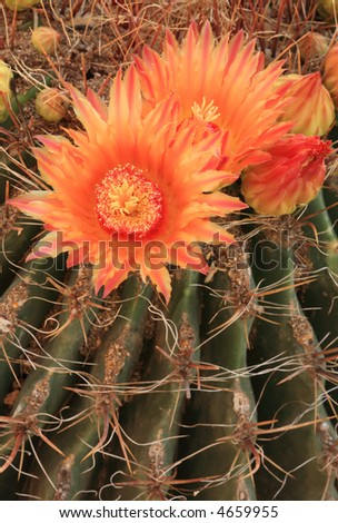Beautiful blooms from a barrel cactus in Tucson, AZ - stock photo
