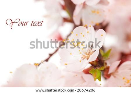 Beautiful Blossom - stock photo