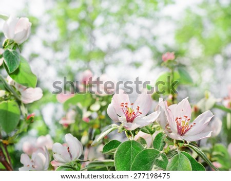 Beautiful blossom quince flower with background for text - stock photo