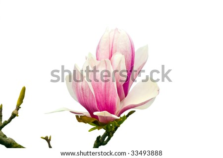 Beautiful blossoming flower of  magnolia on a white background.