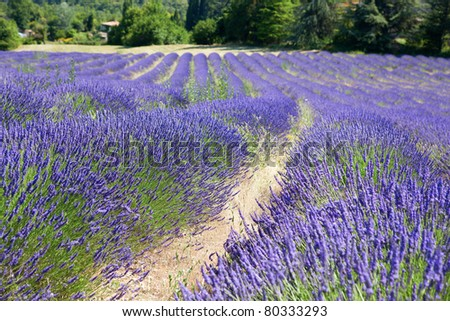Beautiful blossoming lavender