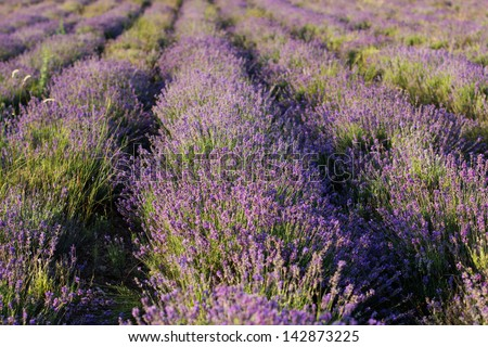 Beautiful blossoming lavender fields