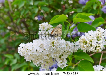 Beautiful blossoming lilac (syringa) with a butterfly  - stock photo