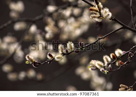 Beautiful blossoming tree in the end of winter and beginning of spring - stock photo
