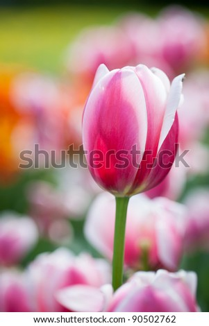 Beautiful blossoming tulip flowers in the spring sunshine - stock photo