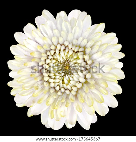 Beautiful Blossoming White Strawflower Isolated on Black Background