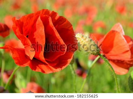 Beautiful blown bud poppy and poppy close up middle of a field of poppies - stock photo