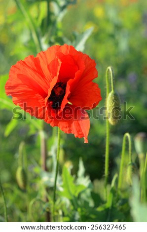 Beautiful blown bud poppy and poppy (male and female sex organs: penis and vagina - concept) - stock photo