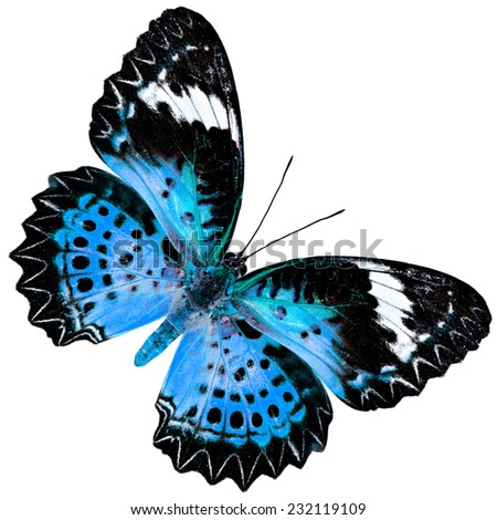 Beautiful Blue Butterfly (Leopard Lacewing Butterfly) upper wing profile in fancy blue color isolated on white background - stock photo