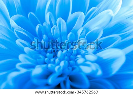 Beautiful blue chrysanthemum  flower, close-up