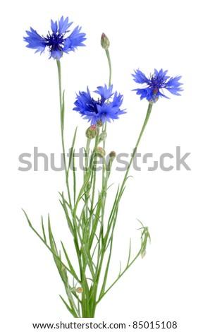 Beautiful blue cornflower isolated on white background - stock photo