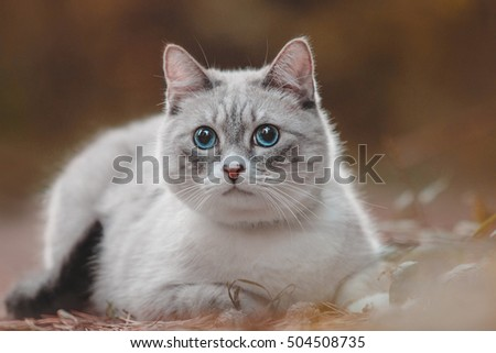 Beautiful blue-eyed cat thai breed in the autumn forest