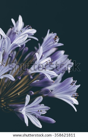 Beautiful blue flower (Agapanthus) closeup with retro vintage instagram filter - stock photo