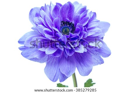 Beautiful blue flower isolated on a white background - stock photo