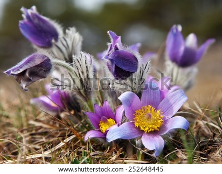 beautiful blue flower of pasqueflower on the meadow - stock photo
