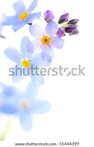 beautiful blue flowers against white isolated background - stock photo