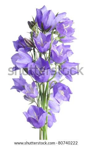 Beautiful blue flowers campanula isolated on white - stock photo