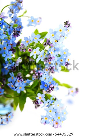 beautiful blue flowers forget-me-nots against white isolated background