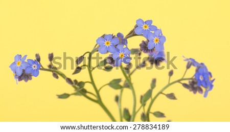 Beautiful blue Forget-me-not flowers on yellow - stock photo