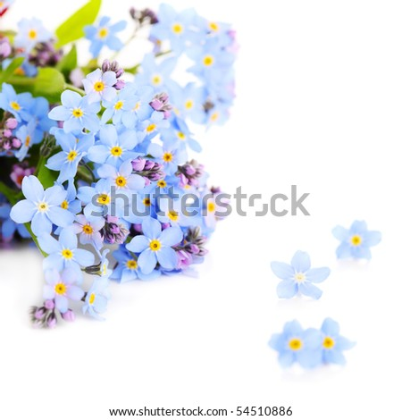 beautiful blue forget-me-not isolated on a white background - stock photo