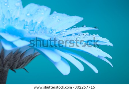 beautiful blue gerbera flower, close up, tinted - stock photo