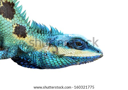 Beautiful Blue Lizard isolated on white background, Reptile lizard, green lizard - stock photo