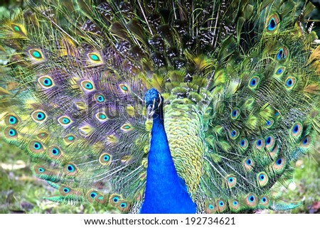 Beautiful blue male peacock with its tail open - stock photo