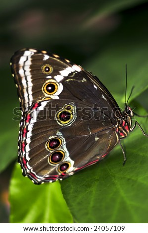 Beautiful blue morpho butterfly sitting on a plant - stock photo
