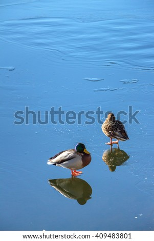 Beautiful blue natural background with two ducks standing on ice. Reflection in the mirror of duck and drake. Spring sunny day. Smooth curly waves on surface of ice. Family ducks. Place for your text. - stock photo