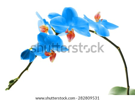 Beautiful blue orchid, isolated on white - stock photo