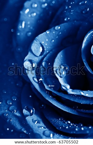 beautiful blue rose with water drops