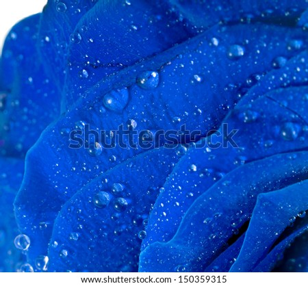 beautiful blue rose with water drops surface close up  isolated on white background - stock photo