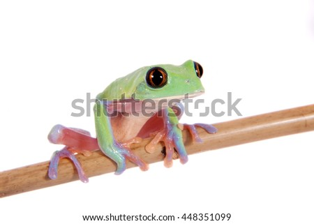 Beautiful blue-sided tree frog, agalychnis annae, isolated on white background - stock photo