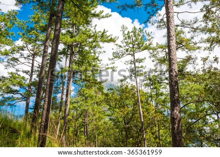 Beautiful blue sky and pine forest, pine tree mountain - stock photo