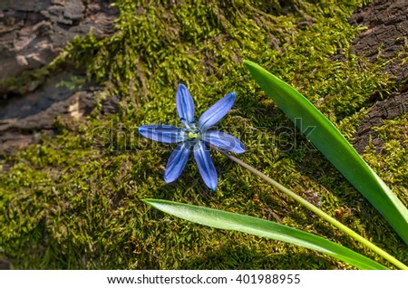 Beautiful blue spring snowdrop flower lying on an old fallen tree covered with moss, close