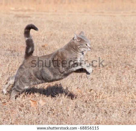 Beautiful blue tabby cat leaping while running in dry winter grass - stock photo