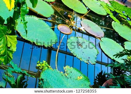beautiful blue water lily in Kew Gardens London - stock photo