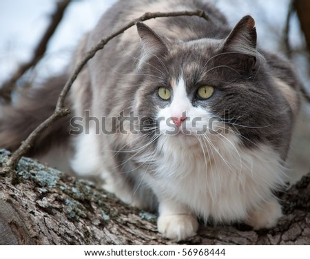 Beautiful blue, white and cream calico cat in a tree - stock photo