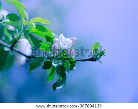 Beautiful blurred apple-tree flowers in the morning mist and in the sunshine (shallow DOF, with focus on the petals) - stock photo