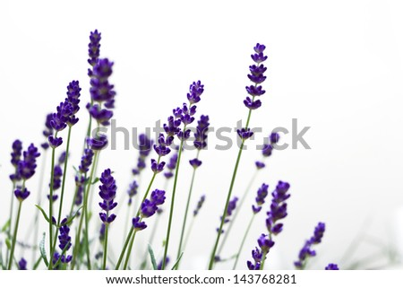 Beautiful blurred lavenders with white isolated background.