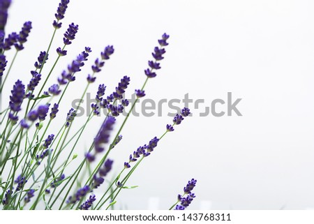 Beautiful blurred lavenders with white isolated background. (Background contains a small pale white blot, improved version: 152619293) - stock photo