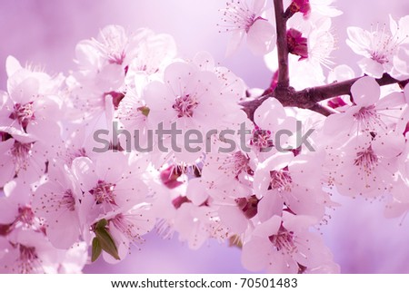 Beautiful blurred sakura flowers in the morning mist, shallow DOF - stock photo