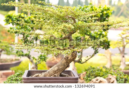 beautiful bonsai in Thailand - stock photo