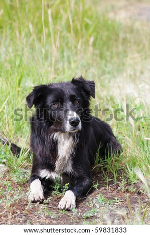 Beautiful border collie lying in wet grass
