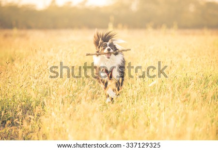 Beautiful border collie running in the grass. concept about animals and dogs - stock photo