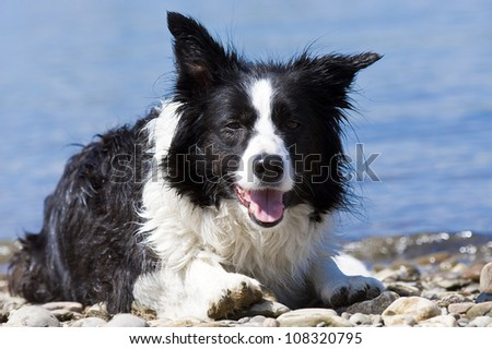 beautiful bordercollie is swimming in a river