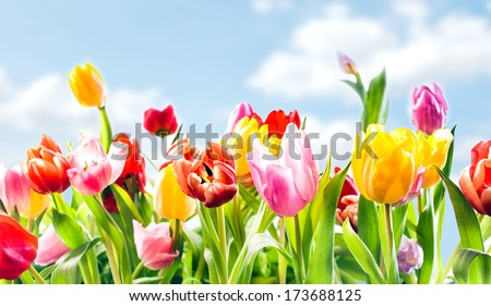 Beautiful botanical background of spring tulips in vibrant reds, pinks and yellow growing outdoors under a sunny blue sky in a flowerbed in a colourful seasonal garden