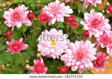 Beautiful bouquet from many autumn pink chrysanthemum - stock photo