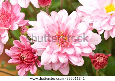 Beautiful bouquet from many autumn pink chrysanthemum, DOF - stock photo